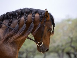 1355930348_walker-carol-bay-andalusian-stallion-with-plaited-mane-and-bridle-austin-texas-usa